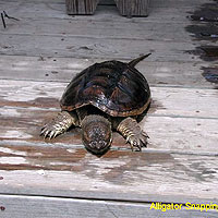 Image Gallery Photo Alligator_Snapping_Turtle.jpg